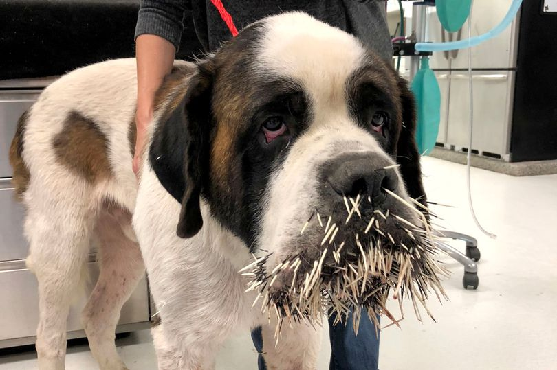 0_PAY-DOG-ATTACKED-BY-PORCUPINE (1)
